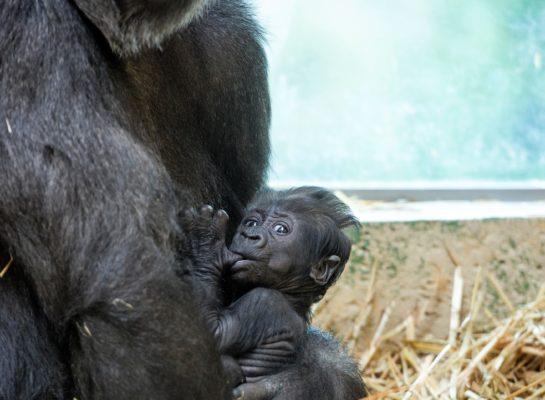 Deze zaterdag: de gorilla's van Apenheul in jouw woonkamer!