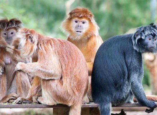 De Javaanse langoeren hebben een nieuw verblijf nodig en jij kan helpen
